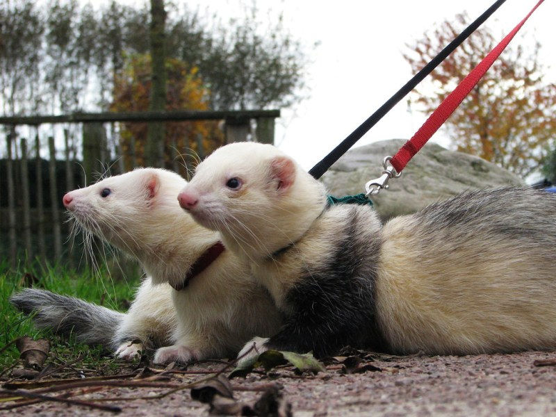 taking the ferrets for a walk