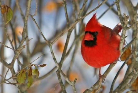 Red Cardinal, Aids Awareness, Red Apple Day