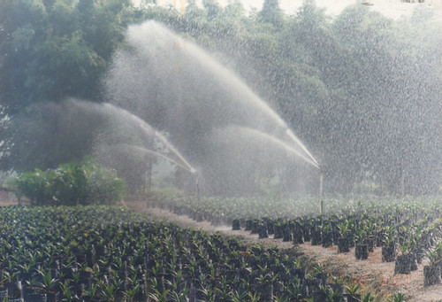 Little baby oil palms being watered