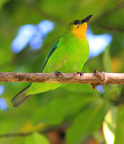 yellow throated leafbird