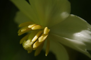 Mayapple Flower Closeup 2