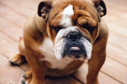 Nikko Bulldog