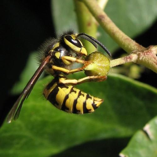 Hornet on an ivy-bud