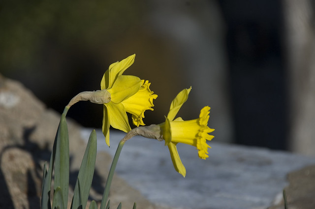 Daffodils at Falls
