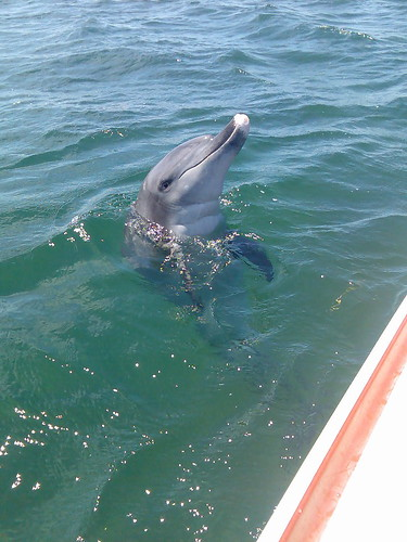 Wild dolphin visits boat. Picture by Gail Broady on Flickr