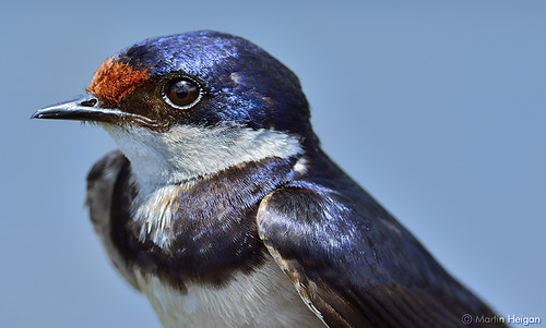 White-throated Swallow Portrait by Martin_Heigan