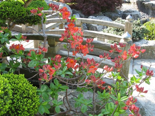 Red azalea beside miniature bridge