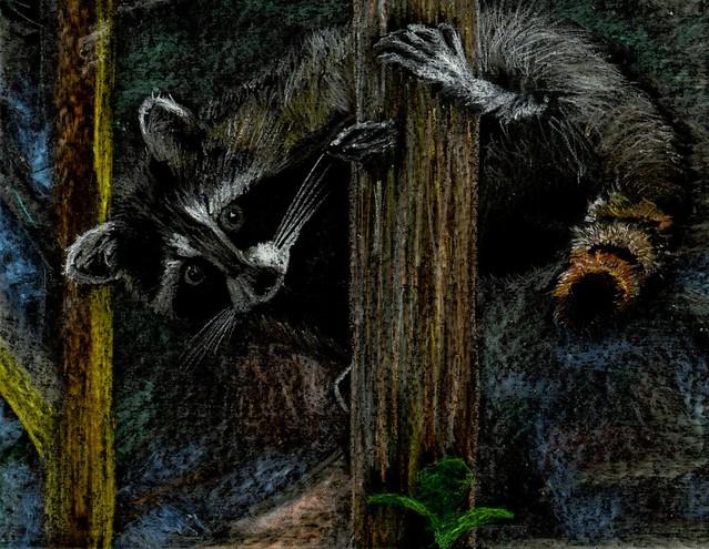 Rambling Raccoon