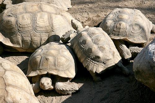 Herd of tortoises