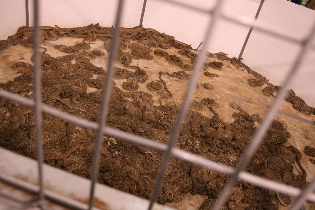 Rattlesnake Roundup cage