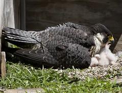 Rahn Mothering Her Chicks
