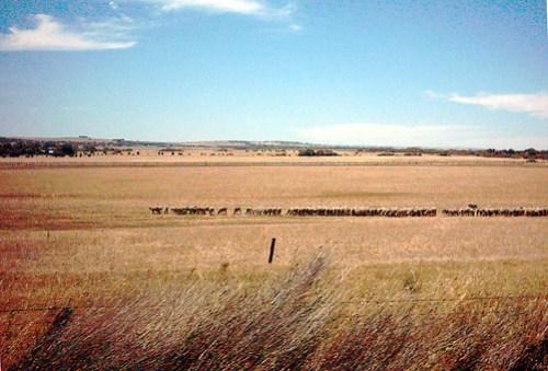 australian sheep farming country