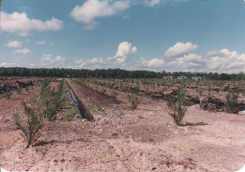 Young oil palm freshly planted