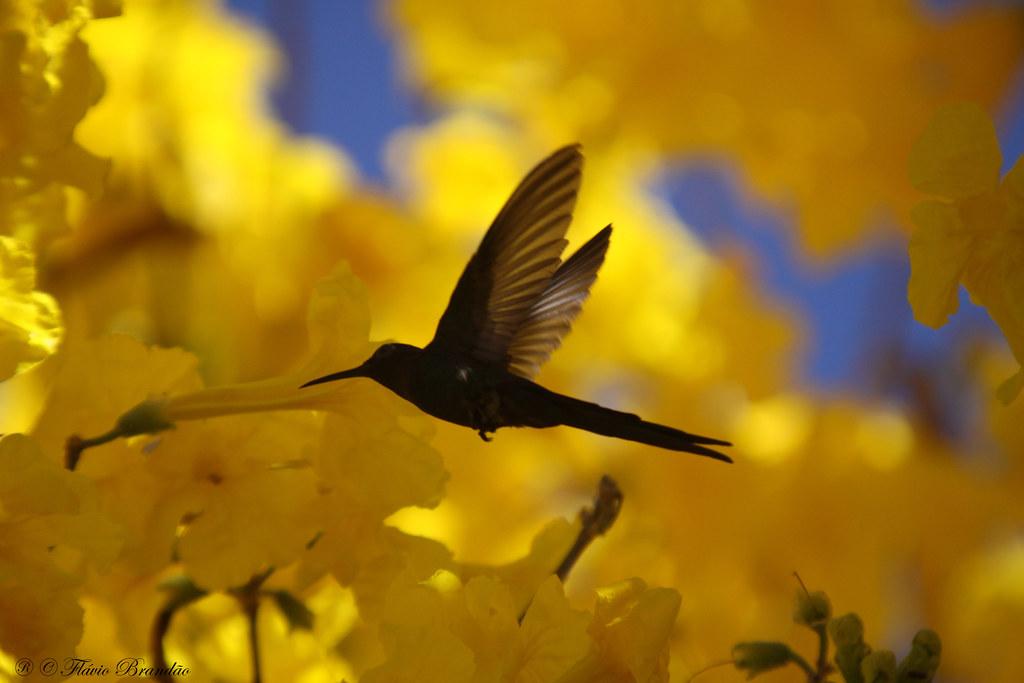 Série de temporada dos Ipês-amarelos (Tabebuia chrysotricha) - 04-08-2009 - IMG_3470