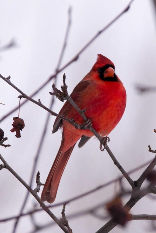 _DSC6321 Northern Cardinal (m)