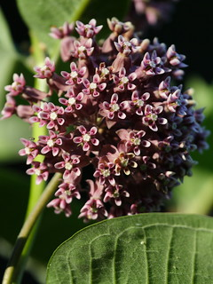 Common Milkweed (and can you see the Monarch Egg?)