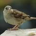 sparrows..where ar they