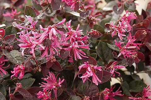 Loropetalum Purple Majesty