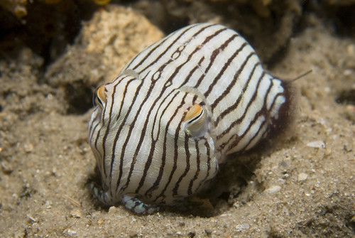 Striped Pyjama Squid