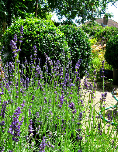How's that lavender going to look against the buxus?  QNI