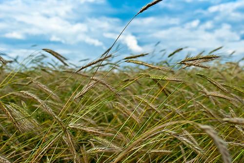 grain heading amber.