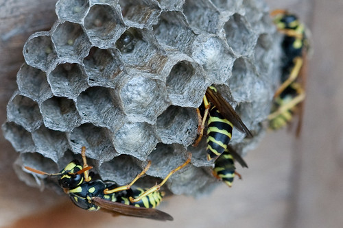 Paper Wasps by Nicki Dugan