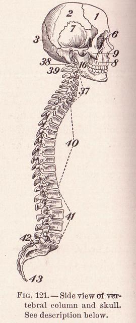 pg 192 Skull and Spine
