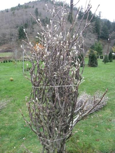 tulip magnolia specimen branches