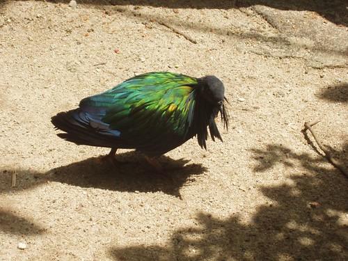 200907291021_Jurong-birdpark-Nicobar-pigeon