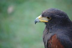 Close Up of Harris Hawk