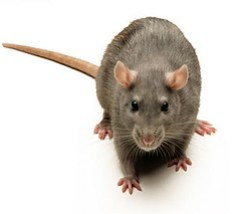 rat1242900072