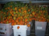 orange chinese lanterns