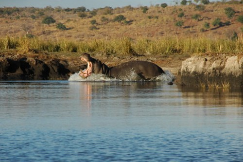 Hippo entering the water