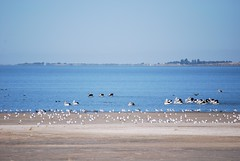 Flock of pelicans and seagulls - Lake Albert, Meningie - 8x zoom