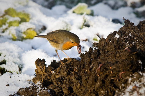 Breakfast time for Robin by fintbo, on Flickr