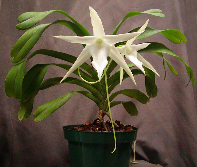 Angraecum Sesquipedale Darwin S Orchid Comet Orchid