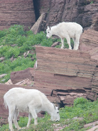 Mountain Goats at Glacier National Park