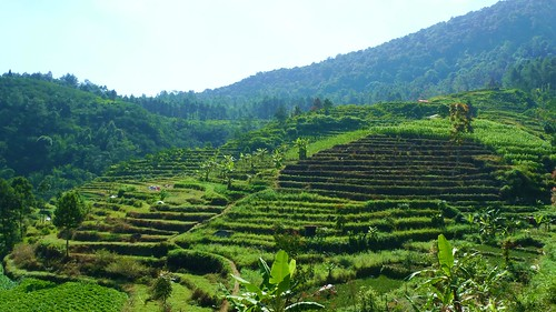 verdant fields