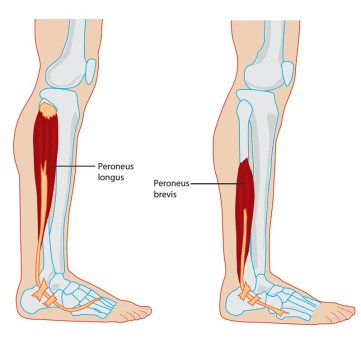 Peroneal Tendon Anatomy