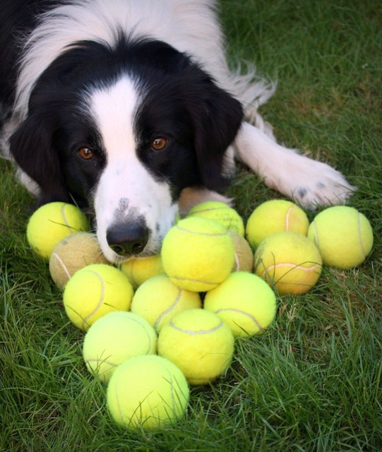 A Tale of 17 Tennis Balls and 1 Border Collie :)