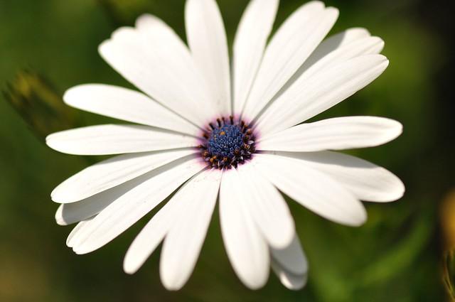 Blue White Flower Center