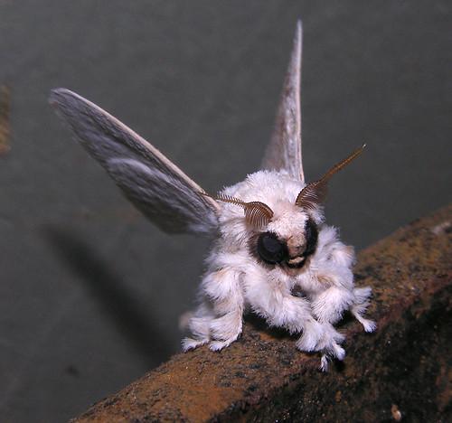 Poodle moth, Venezuela by artour_a