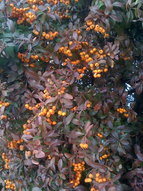 berries, foliage in SLC