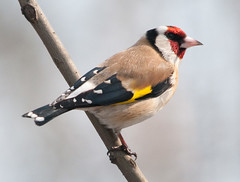 Goldfinch by Sergey Yeliseev, on Flickr