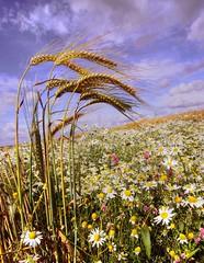 365-027 Field of Wheat / Barley, Walton, Warrington Cheshire UK Battling Wild Flowers