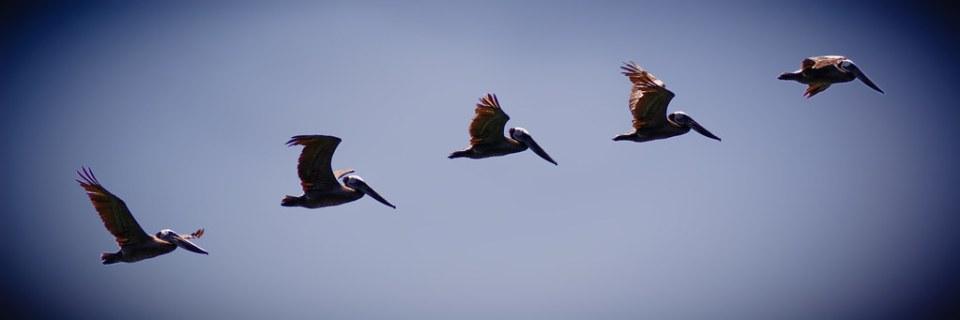 Pelican Briefs