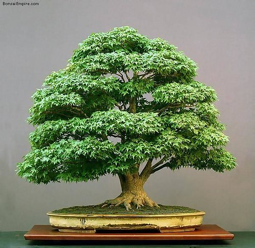 top-bonsai-gallery-l-50