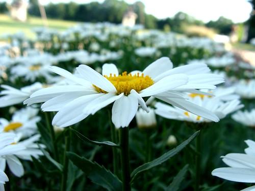 Daisies in flower garden