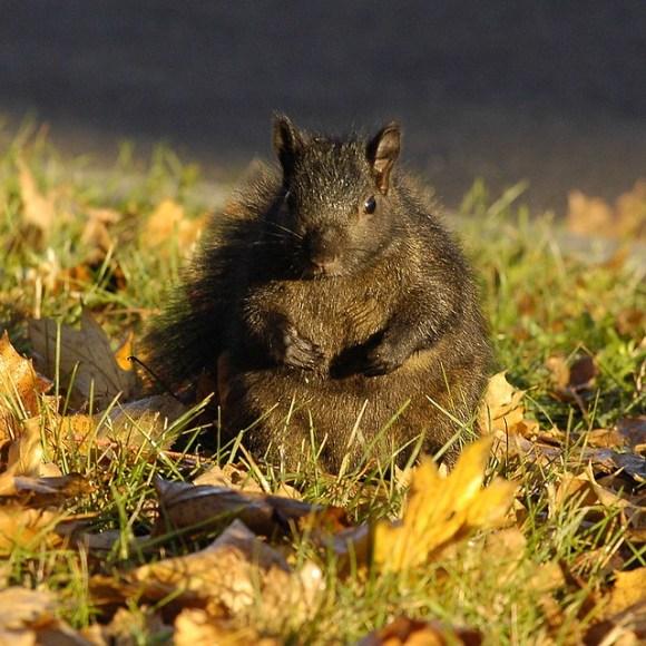 Rikishi - the Sumo Squirrel. _DSC2567wssa