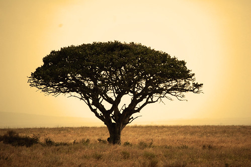 Serengeti_tree_2